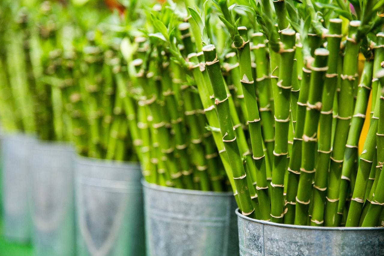 Bambú brotes