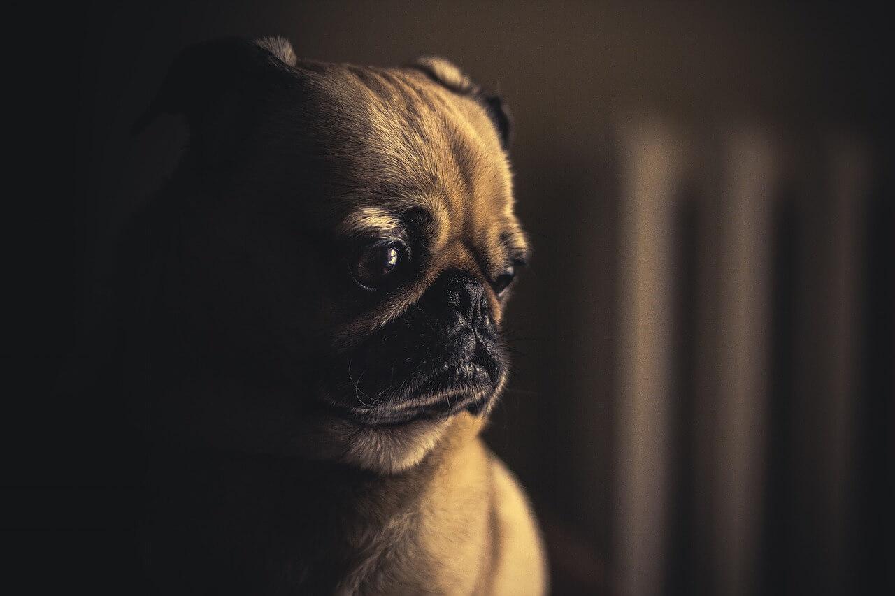 perro-tristeza-emocion